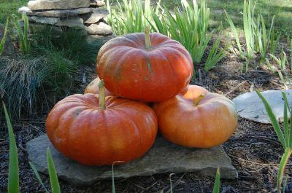 Rouge vif d'Etampes pumpkin.