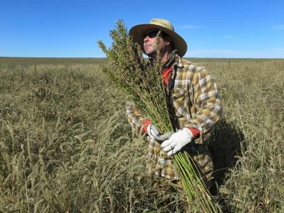 In this Oct. 5, 2013 photo, Derek Cross, a chef who specializes in cooking with hemp, helps harvest the plant in Springfield, Colo. Photo: AP / AP