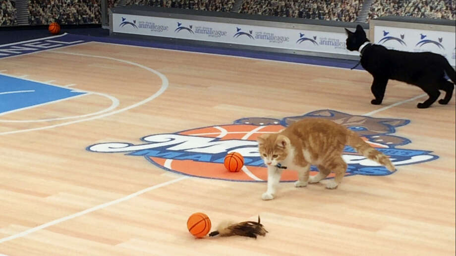 "In this Jan. 26, 2017, photo, cats play on a mock basketball court, which was set up for Hallmark Channel's ""Meow Madness"" television show, at a soundstage in New York. Watch out Villanova and Kentucky (and Arizona and Northwestern), there's a new set of cats going wild for March Madness.Time for Meow Madness, coming in April. Buoyed by the success of the Kitten Bowl, the Hallmark Channel is debuting a new show hosted by Beth Stern that will air on Monday April 3, the same day as the NCAA men's basketball national championship game. (AP Photo/Doug Feinberg) Photo: AP / AP"