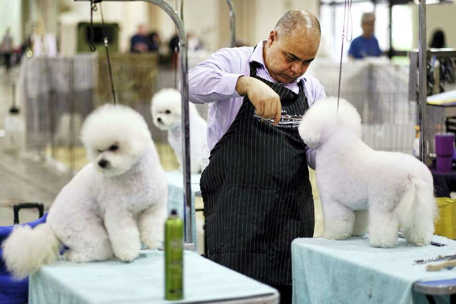 This Saturday, March 4, 2017 photo shows Wilson Ramirez, from Santa Ana, Calif., grooming a Bichon Frise prior to competing at the Annual Kennel Club of Beverly Hills Dog Show at Pomona Fairplex in Pomona, Calif. The competition, which included 1,000 dogs from 200 eligible breeds, will air on USA Network on April 16. (AP Photo/Richard Vogel) Photo: AP / Copyright 2017 The Associated Press. All rights reserved.