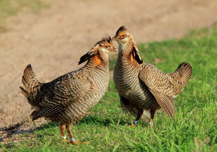 Attwater prairie-chickens at the Attwater Prairie Chicken National Wildlife Refuge in southeast Texas. (John Magera/ USFWS) Photo: John Magera / USFWS