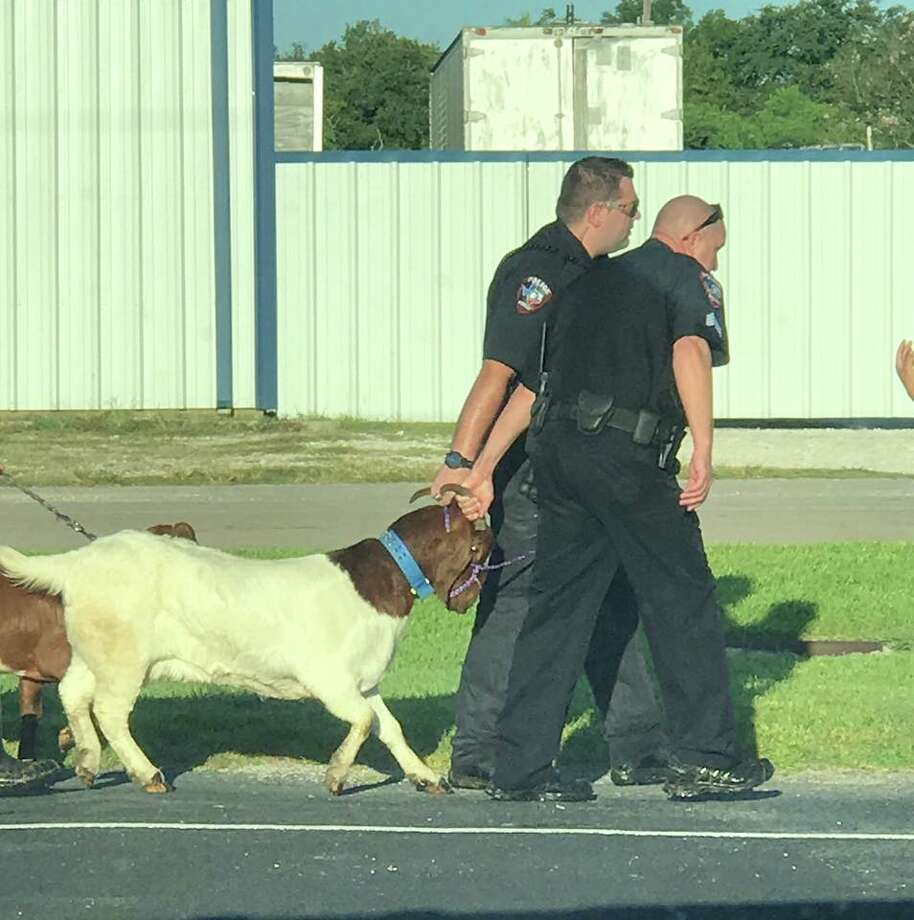 """The Kemah Police Department received a call about a supposed pair of """"stolen"""" goats Sunday morning."""