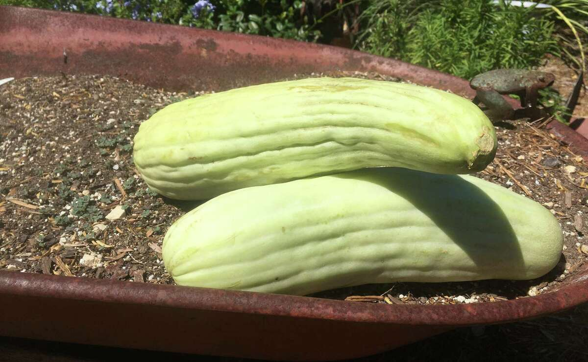 """Armenian cucumbers thrive in the heat and grow to tremendous proportions. They are considered the """"world's longest fruit."""""""