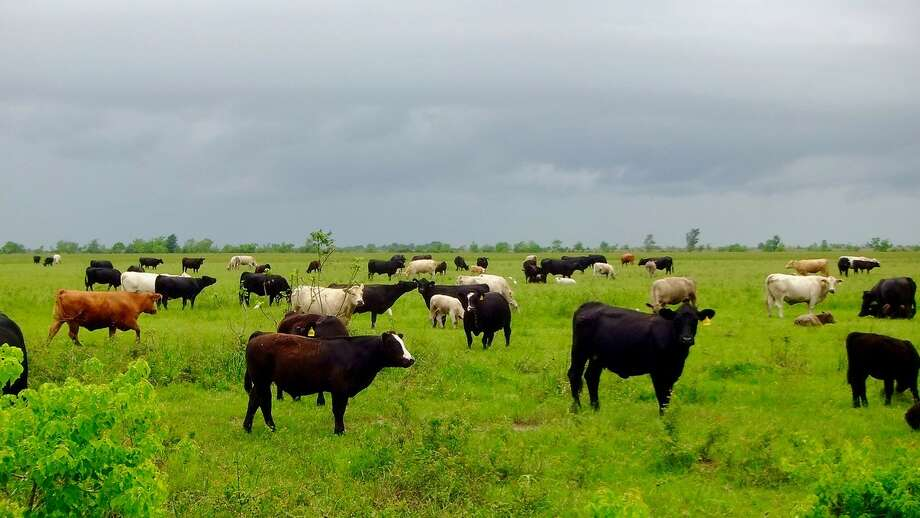 Cattle graze at Warren Ranch on the Katy Prairie in west Houston. Photo: Katy Prairie Conservancy