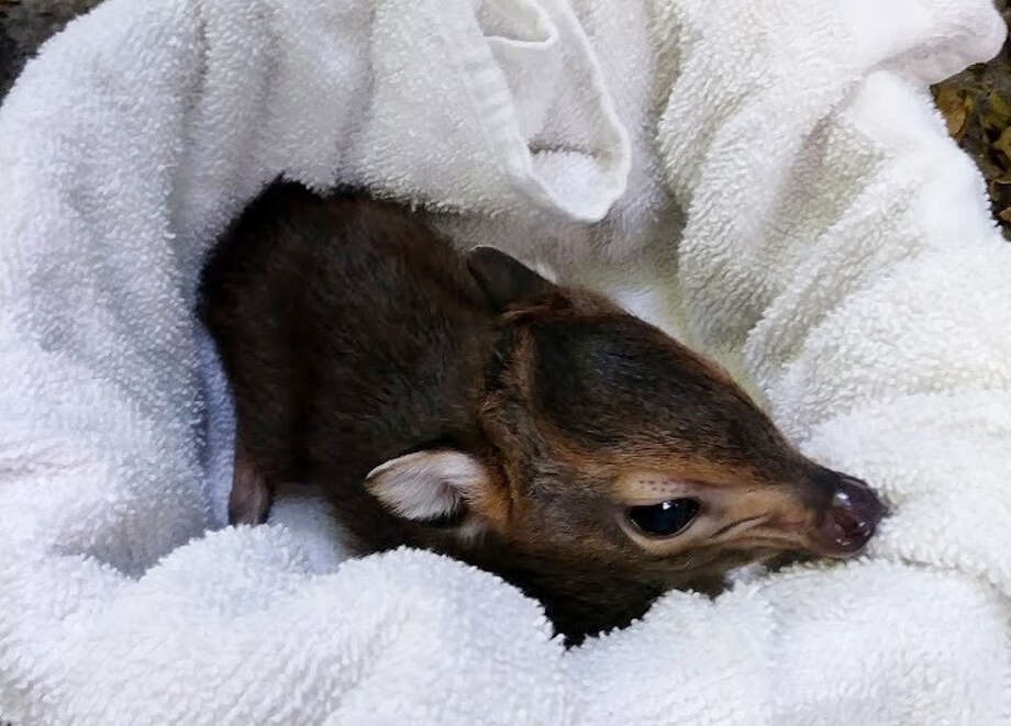 Soksi the blue duiker is weighed for the first time shortly after being born.