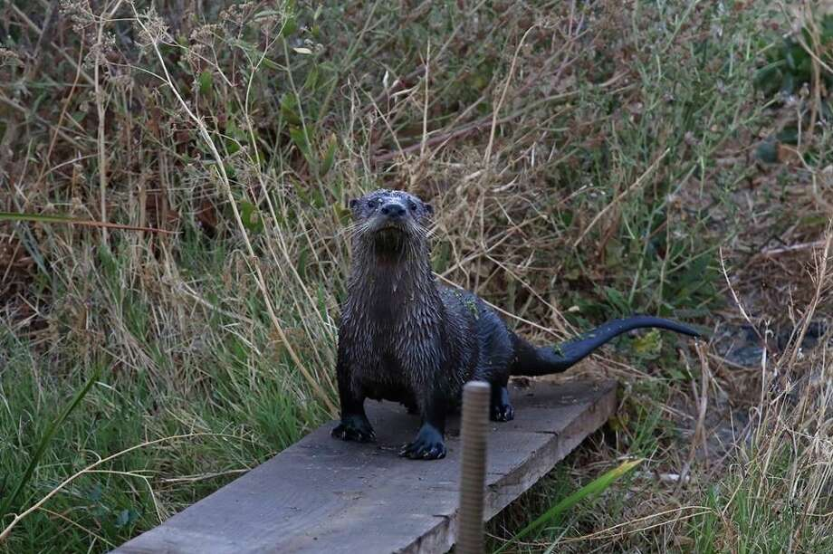 This river otter was spotted in Martinez. Another river otter sighting was reported Friday near Lake Temescal in Oakland. Photo: Karen James
