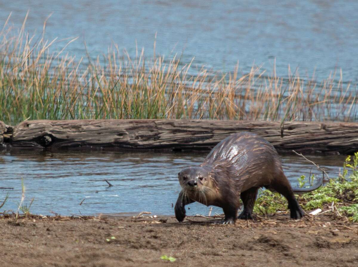 River otters are most commonly spotted in the North Bay. This picture was taken at Rodeo Lagoon in Marin County.