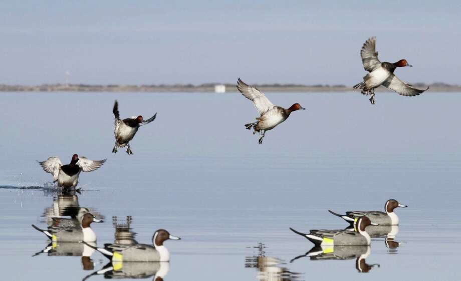 The estimated breeding population of redhead ducks, a staple of Texas waterfowlers who hunt the state's shallow coastal bays, declined 13 percent this spring but remains 55 percent above the 1955-2016 average. Photo: Shannon Tompkins