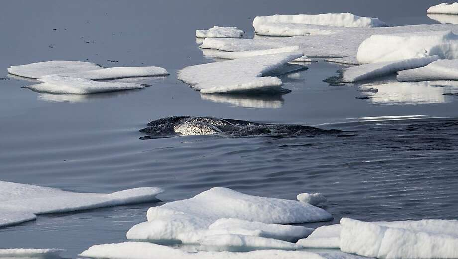 Narwhals swim between sea ice floating in the Canadian Arctic Archipelago, Saturday, July 22, 2017. Known as the unicorns of the ocean because of the male's long single tusk, narwhals are among the species that stand to lose out if climate change turns the frozen waters into a shipping highway. Credible surveys of the Arctic predict that trillions of dollars worth of oil, gas and precious minerals lie untapped beneath the surface. (AP Photo/David Goldman) Photo: David Goldman, Associated Press