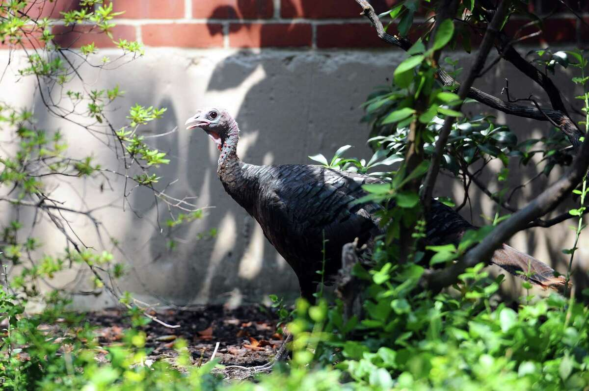 A wild turkey walks through the courtyard outside the Stamford Advocate office in Stamford, Conn. on Tuesday, August 24, 2017.