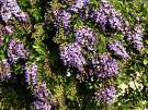 Blooms on Texas mountain laurel perfume the air with the scent of grape Kool-Aid from late February to mid-March. The evergreen plants look pretty in the landscape year-round.