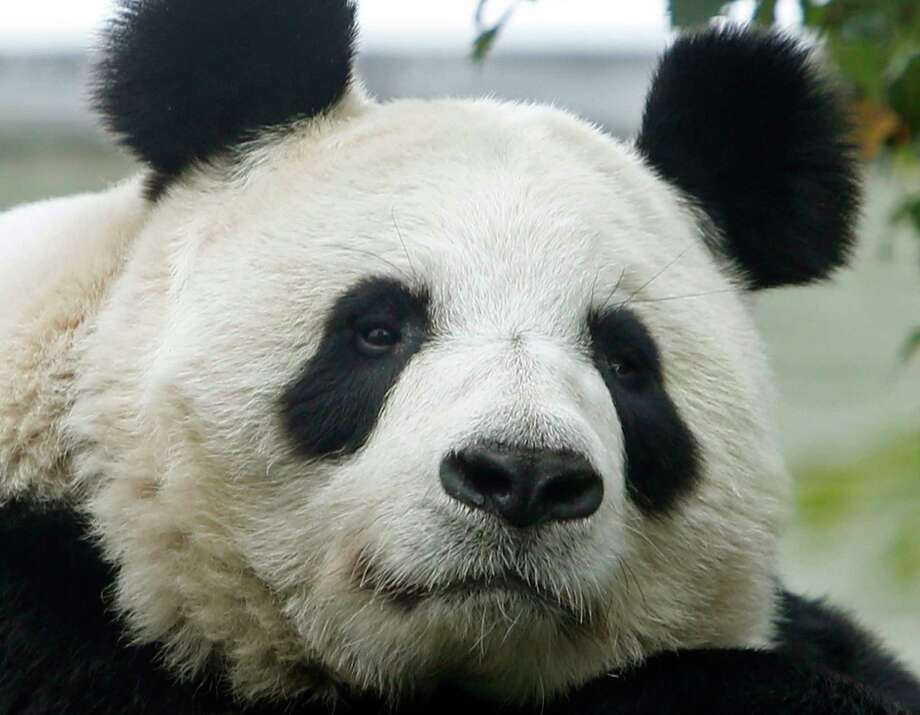 Tian Tian, the United Kingdom's female giant panda at Scotland's Edinburgh Zoo, is believed to be pregnant, according to officials. Photo: Danny Lawson, SUB / PA