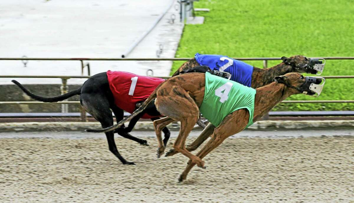 Three greyhounds race down the track to the finish line.