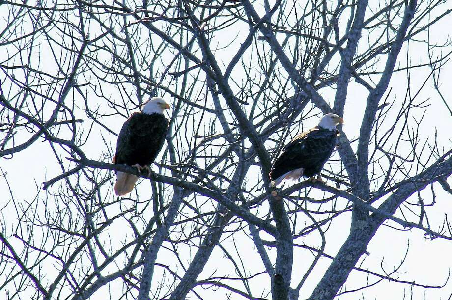 A pair of bald eagles spotted in West River Memorial Park in New Haven. Photo: Esteban L. Hernandez / Hearst Connecticut Media