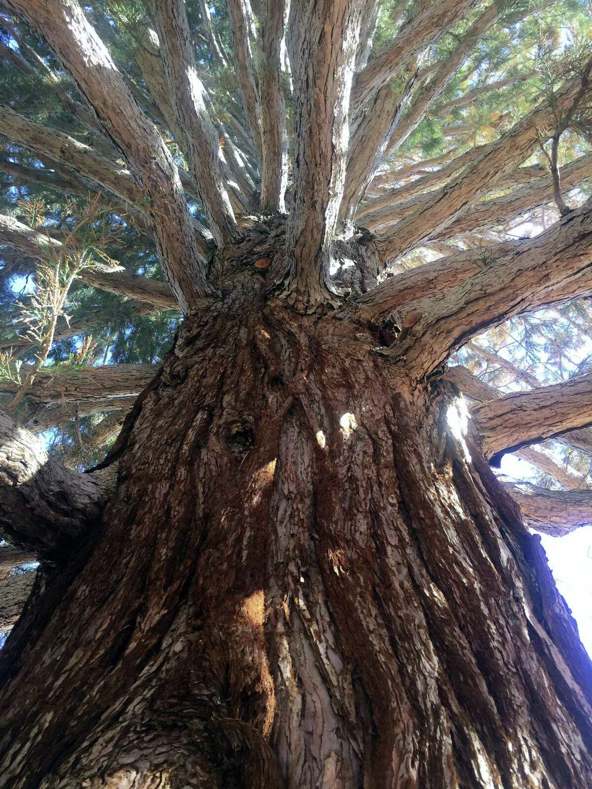A roughly 100-foot sequoia tree is viewed looking upward from the base of the trunk in Boise, Idaho, Friday, June 23, 2017. The sequoia tree sent more than a century ago by naturalist John Muir to Idaho and planted in a Boise medical doctor's yard has become an obstacle to progress. So the sequoia planted in 1912 and that's in the way of a Boise hospital's expansion is being uprooted and moved about a block to city property this weekend.