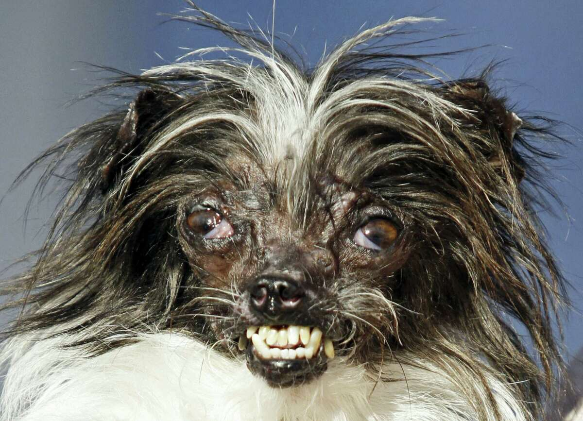 """In this June 20, 2014 file photo, Peanut, a 2-year-old mutt is held by owner Holly Chandler after winning the World's Ugliest Dog Contest at the Sonoma-Marin Fair in Petaluma, Calif. The annual World's Ugliest Dog Contest celebrates homely pooches for their inner beauty in Petaluma. Organizers say the pooches will face off in a red carpet walk and """"Faux Paw Fashion Show"""" during Friday's events. It's intended to show that all dogs, regardless of physical appearance, can be lovable additions to any family."""
