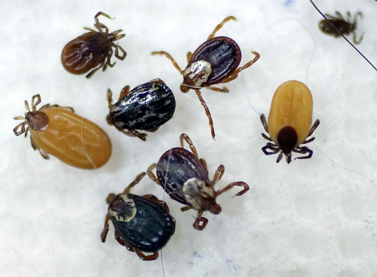 In this May 15, 2017 photo, ticks are displayed that were collected by South Street Veterinary Services in Pittsfield, Mass. Tick numbers are on the rise across New England this spring, raising the prospect of an increase in Lyme and other diseases.