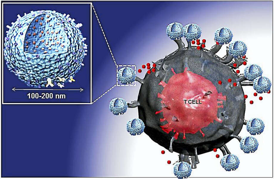 ILLUSTRATION COURTESY OF TAREK FAHMY/YALE UNIVERSITY Nanoparticles, one ten-thousandth the size of a human hair follicle (shown in blue) deliver the LIF molecule (in red) to a T lymphocyte cell, stopping it from attacking other cells in the body. Photo: Digital First Media