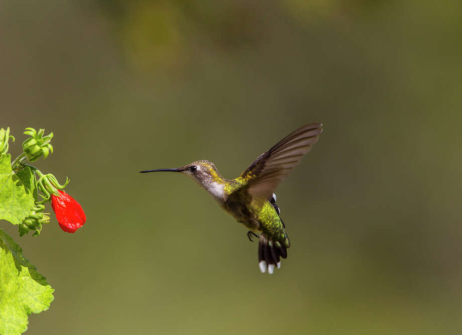 Ruby-throated hummingbird can be seen in area gardens and parks this fall.  Females and juveniles have a dull gray throat.  Photo Credit:  Kathy Adams Clark.  Restricted use. Photo: Kathy Adams Clark / Kathy Adams Clark/KAC Productions