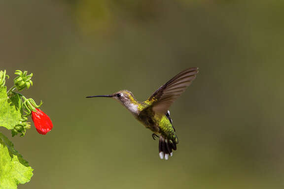 Ruby-throated hummingbird can be seen in area gardens and parks this fall.  Females and juveniles have a dull gray throat.  Photo Credit:  Kathy Adams Clark.  Restricted use.