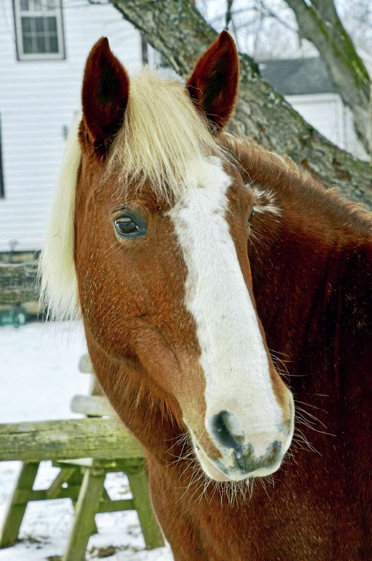 Sassafras, a beautiful Bureau of Land Management mustang mare. Washington, Connecticut; Saturday, June 10, 2017 - The Humane Organization Represent-ing Suffering Equines (H.O.R.S.E. of Connecticut), now celebrating their 36th year, will hold a spring Horse Showing on Saturday, June 10th, from 1:00 p.m. to 3:00 p.m. to show the many horses available for adoption, lease and sponsor. In addition to meeting our wonderful horses, there will be a TACK SALE from 12:00 p.m. to 3:00 p.m. for those looking for saddles, blankets and other equipment. H.O.R.S.E. of Connecticut is located at 43 Wilbur Road, Washington, CT. For more info about our horses or upcoming events, please visit www.horseofct.org or call 860-868-1960.