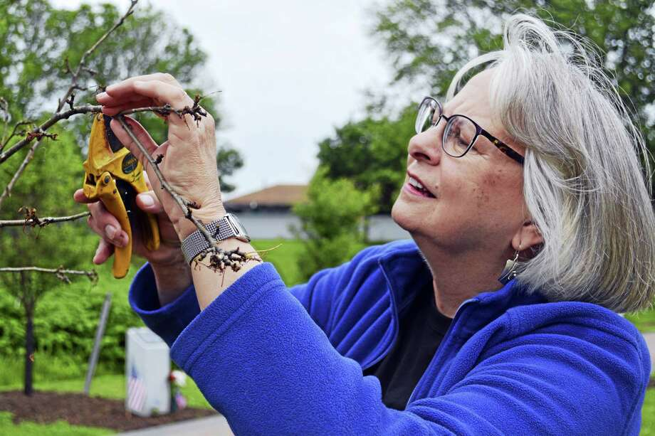 Jane Harris, arborist and chairwoman of the Middletown Urban Forestry Commission, examines a crab apple tree that has been defoliated by hungry tent caterpillars at the Connecticut Trees of Honor at Veterans Park in Middletown. She gets many reports about gypsy moth caterpillars that turn out to be similarly-looking tent caterpillars. Photo: Cassandra Day — The Middletown Press