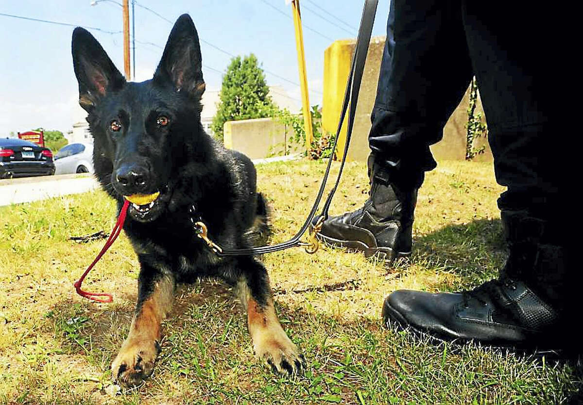 Zeus is the Bridgeport Police Department's newest K9 who is paired with officer Ryan Mullenax at Bridgeport Police Department headquarters in Bridgeport, Conn. on Wednesday July 6, 2016.