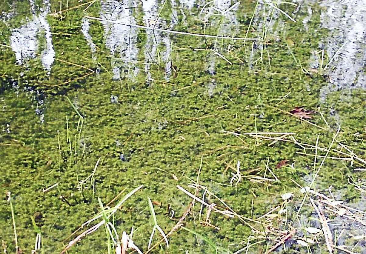 Hydrilla is an invasive plant that grows in thick mats across bodies of water. Connecticut officials say it has been found in the Connecticut River.