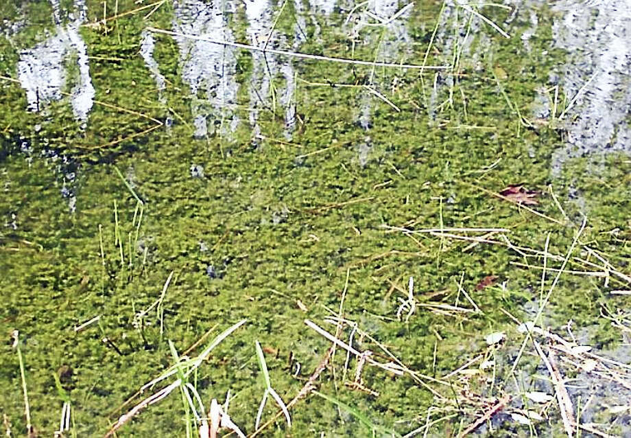Hydrilla is an invasive plant that grows in thick mats across bodies of water. Connecticut officials say it has been found in the Connecticut River. Photo: Photo From University Of Connecticut / Connecticut Invasive Plant Working Group