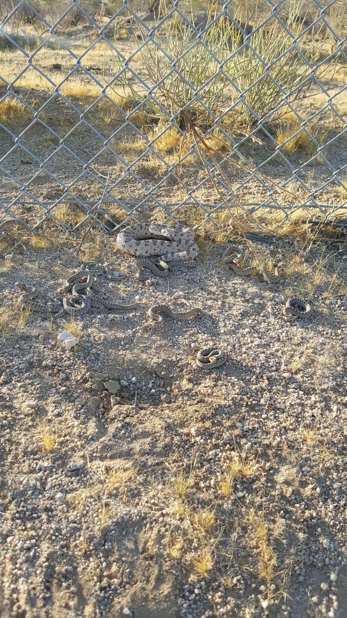Animal Control Officer Shawna Villa-Rodriguez found not one, not two but 19 sidewinder rattlesnakes under the playhouse.