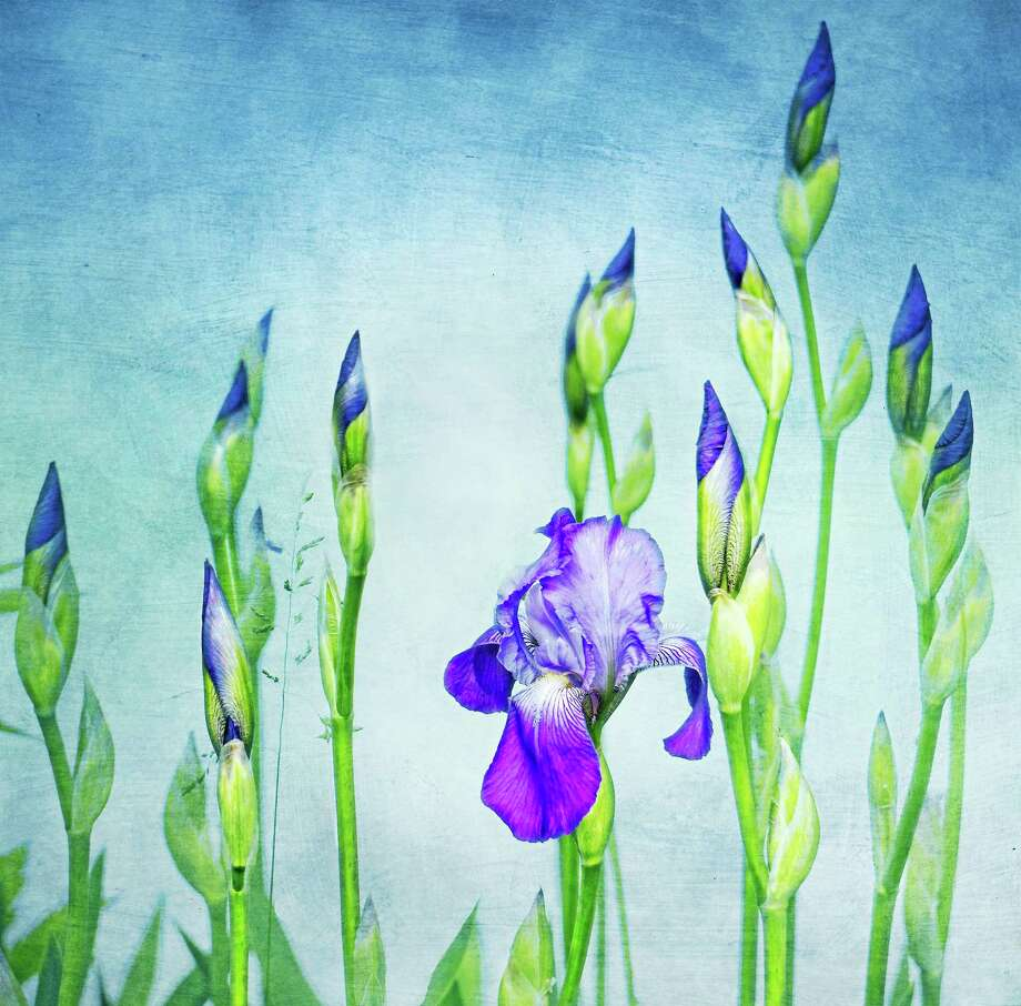"Judy Secco of Bantam, photography, ""Iris"". Photo: Contributed Photo"