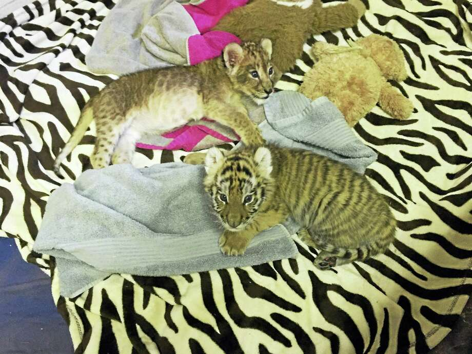 Siberian tiger cub Nadya and African lion cub Zuri are seen in a file photo from last year. Photo: Courtesy Of Six Flags Great Adventure