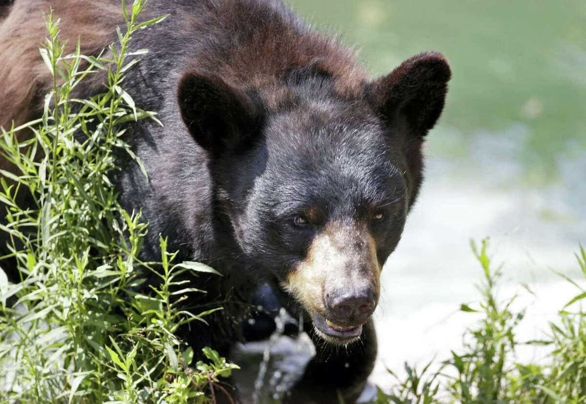 In this July 25, 2014 photo, a black bear is seen at the Maine Wildlife Park in Gray, Maine. Nuisance bear complaints are an annual rite of spring in Maine, and state officials said they have begun this year. Bears emerge from hibernation hungry and many of the natural foods they eat in the wild, such as fruits and nuts, are not yet available. This sometimes causes them to seek human food from garbage cans and back porches.