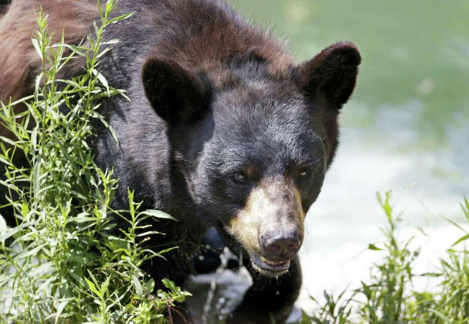 In this July 25, 2014 photo, a black bear is seen at the Maine Wildlife Park in Gray, Maine. Nuisance bear complaints are an annual rite of spring in Maine, and state officials said they have begun this year. Bears emerge from hibernation hungry and many of the natural foods they eat in the wild, such as fruits and nuts, are not yet available. This sometimes causes them to seek human food from garbage cans and back porches. Photo: AP Photo — Robert F. Bukaty, File  / Copyright 2017 The Associated Press. All rights reserved.