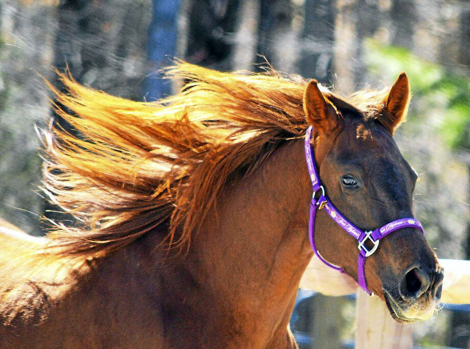 H.O.R.S.E. of Connecticut is throwing a birthday party for its rescue horse, Fiona, on March 25. Photo: Contributed Photo