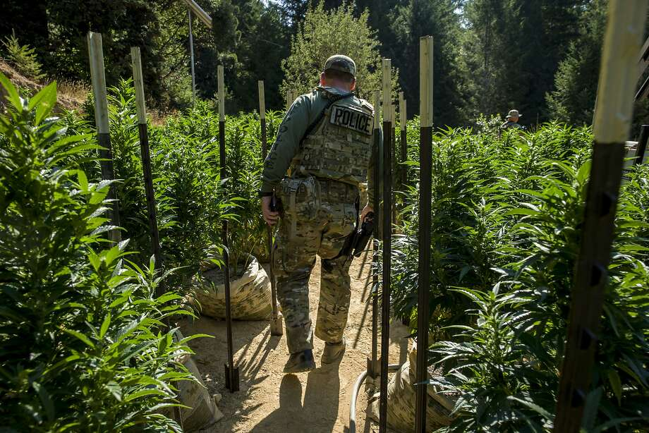 Police officials survey land filled with marijuana plants in Willits. Photo: Santiago Mejia, The Chronicle