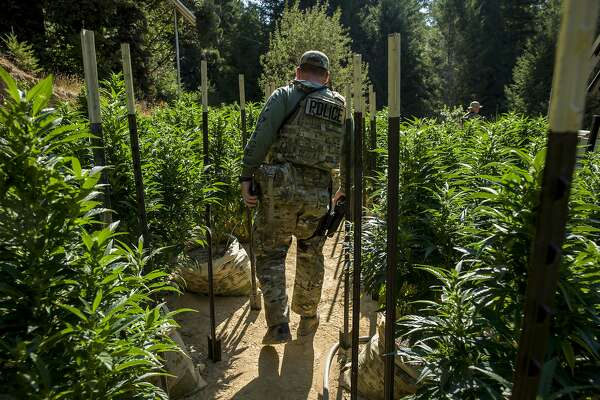 Police crack down on black-market pot to protect regulated