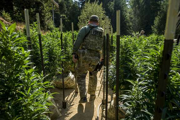 Police officials survey the land filled with marijuana plants on Wednesday, Aug. 23, 2017, in Willits, Calif. A search warrant led by the Mendocino County Sheriff's Department found more than 800 marijuana plants.