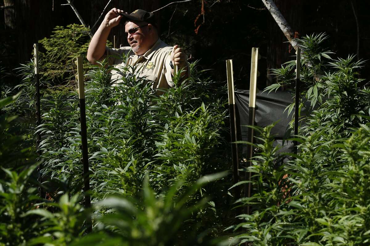 Mendocino County Sheriff's Lieutenant Shannon Barney surveys the field filled with marijuana plants on Wednesday, Aug. 23, 2017, in Willits, Calif. A search warrant led by the Mendocino County Sheriff's Department found more than 800 marijuana plants.