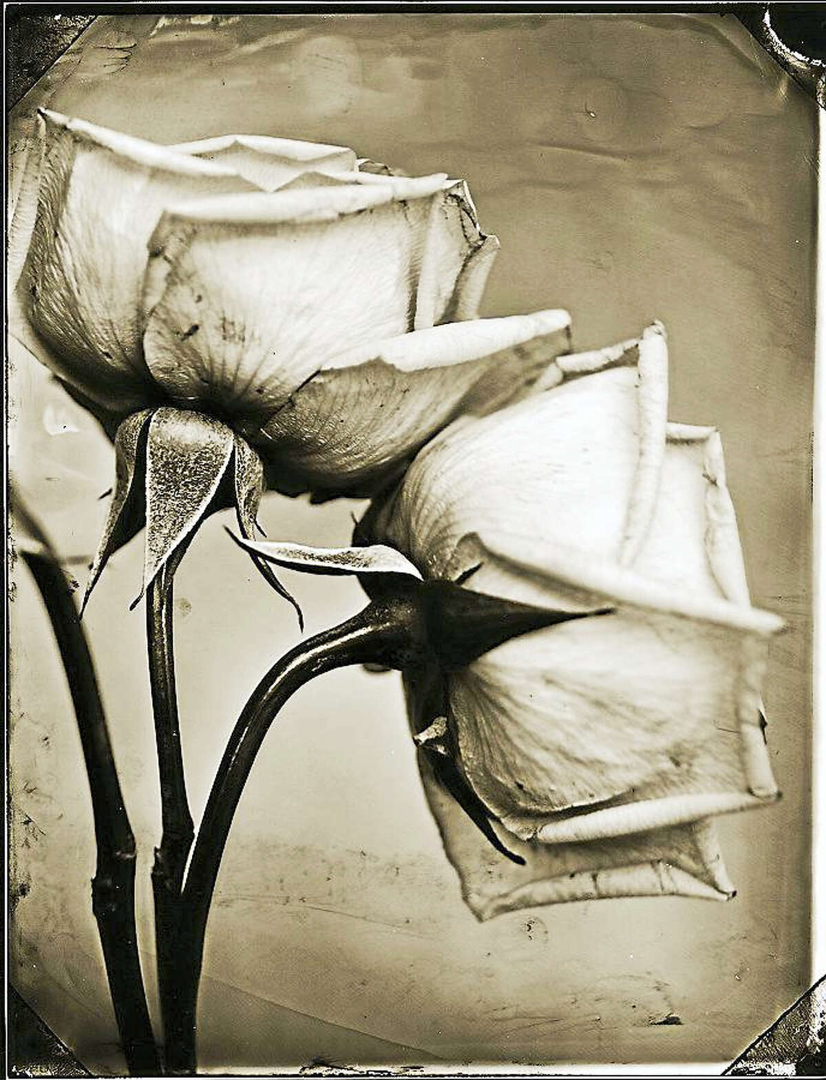 """Tom Baril (b. 1952). Two Roses, 2002. Gelatin silver print from wet-plate glass negative. Mattatuck Museum; Gift of Kevin McNamara and Craig Nowak in honor of Nancy Rustico. (Part of """"Black & White"""")"""