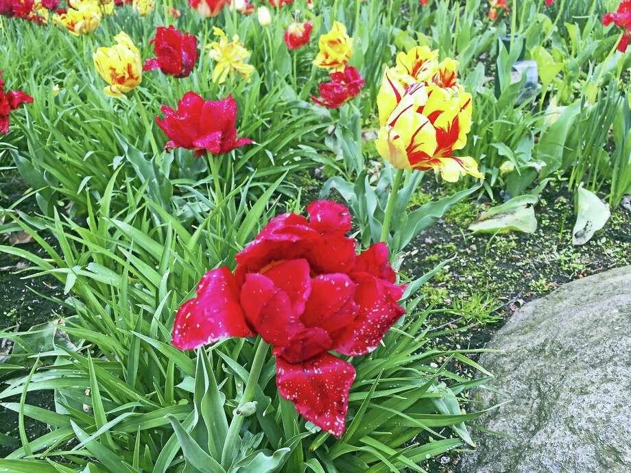 Some of the flowers of Torrington last May. Photo: Ben Lambert — The Register Citizen