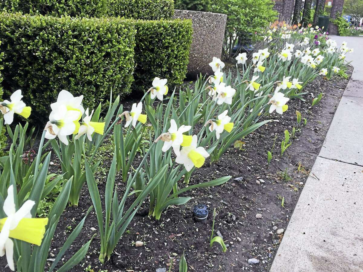 Some of the flowers of Torrington last May.
