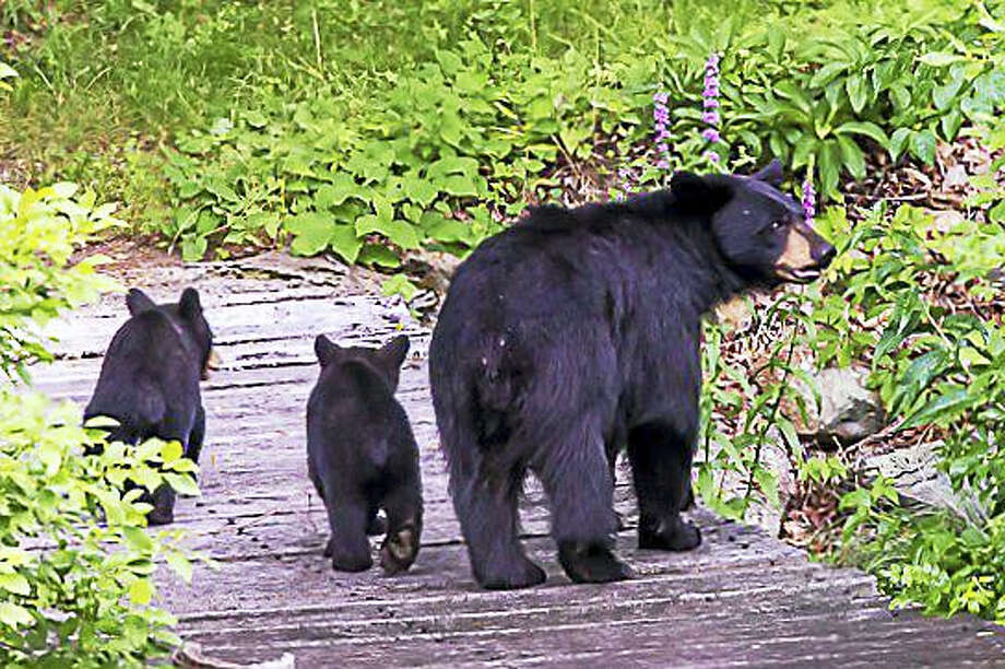 Contributed photo Flanders Nature Center in Woodbury will present a program on black bears in Connecticut on Feb. 4. Photo: Digital First Media