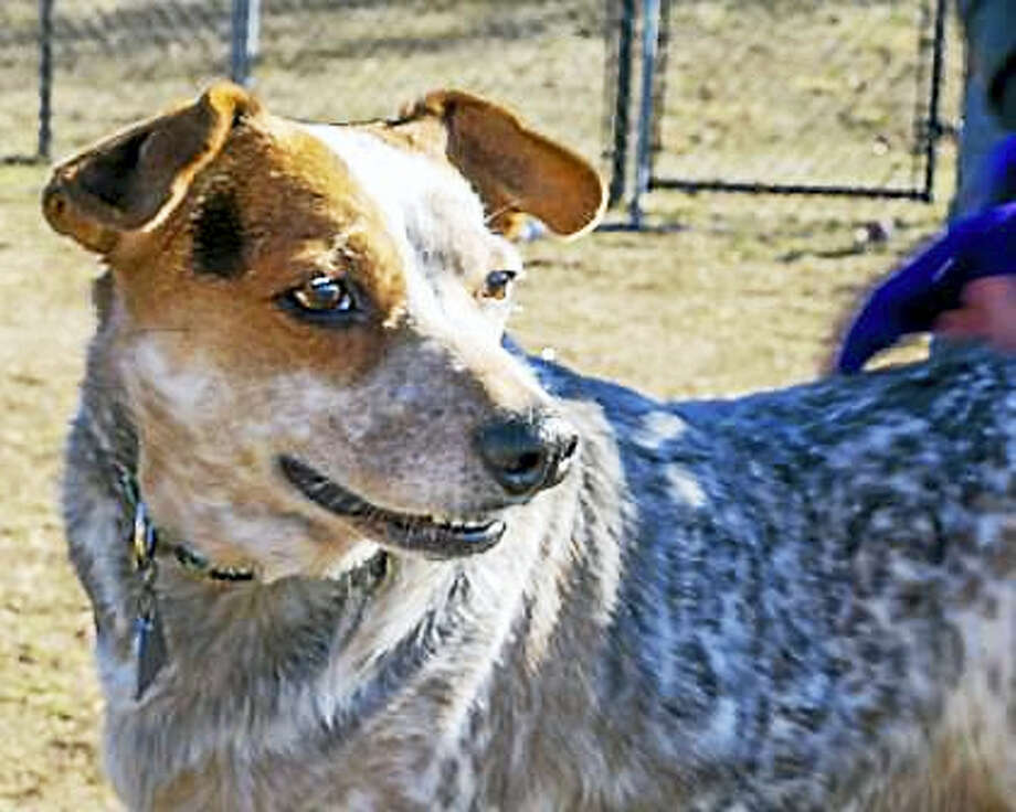 """Macy, an Australian Cattledog mix, can live in a single family home or condo.  She wants to live with kids over 8 years of age who are very gentle and respectful of pets. Macy, aged 7,  has not had much experience with cats or dogs but she is willing to consider sharing her home with a furry friend. This breed LOVES to be busy!  Macy is a high energy kind of dog and she absolutely needs a home where she can get lots of """"jobs"""" to do and exercise every day.  Macy may be a great dog for the first time dog owner who will keep her """"on the go""""!  Remember, the Connecticut Humane Society has no time limits for adoption.  Inquiries for adoption should be made at the Connecticut Humane Society located at 701 Russell Road in Newington or by calling (860) 594-4500 or toll free at 1-800-452-0114.  The Connecticut Humane Society is a private organization with branch shelters in Waterford and Westport. The Connecticut Humane Society is not affiliated with any other animal welfare organizations on the national, regional or local level. Photo: Digital First Media"""