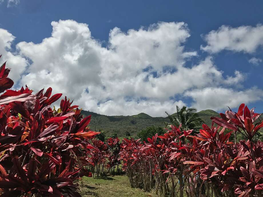 A field of colorful ti plants in the Hana sun. Photo: Kim Westerman, Special To The Chronicle