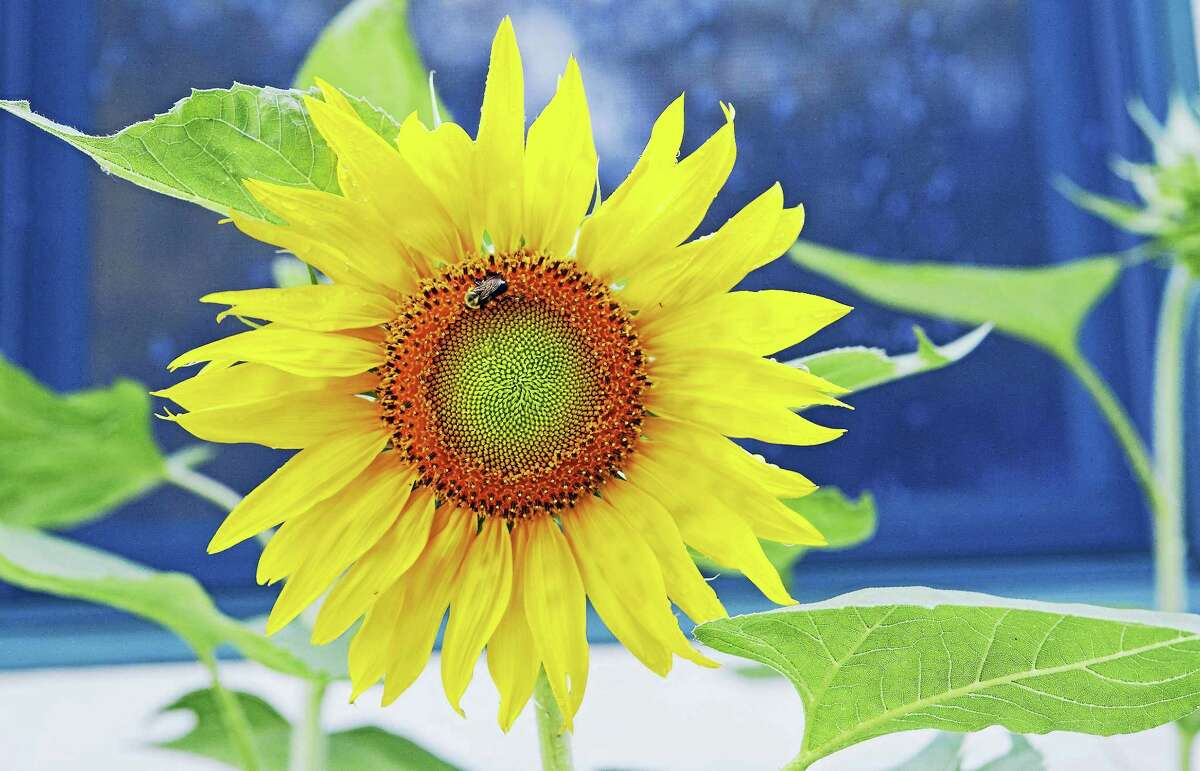 Contributed photo A sunflower, photographed by Karen Bussolini.