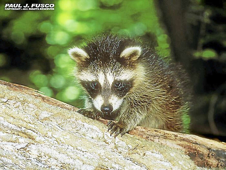 This young raccoon may look cute, but it is still a wild animal and should not be handled, according to the DEEP. Direct contact may result in exposure to rabies or other diseases carried by wildlife. Photo: Paul J. Fusco — CT DEEP Wildlife Division