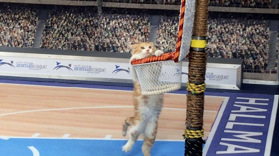 "In this Jan. 26, 2017, photo, a cat hangs from a basket on a mock basketball court, which was set up for Hallmark Channel's ""Meow Madness"" television show, at a soundstage in New York. Watch out Villanova and Kentucky (and Arizona and Northwestern), there's a new set of cats going wild for March Madness.Time for Meow Madness, coming in April. Buoyed by the success of the Kitten Bowl, the Hallmark Channel is debuting a new show hosted by Beth Stern that will air on Monday April 3, the same day as the NCAA men's basketball national championship game. (AP Photo/Doug Feinberg) Photo: AP / AP"