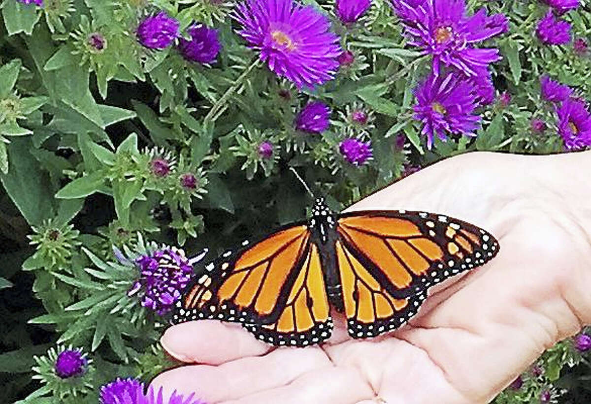 A male monarch butterfly, whose numbers have declined in recent years.