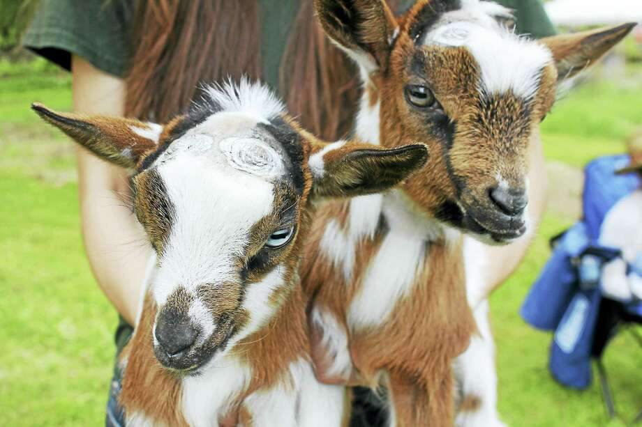 Baby goats are waiting to greet visitors at Flanders Nature Center's Farm Day on Saturday. Photo: Contributed Photo